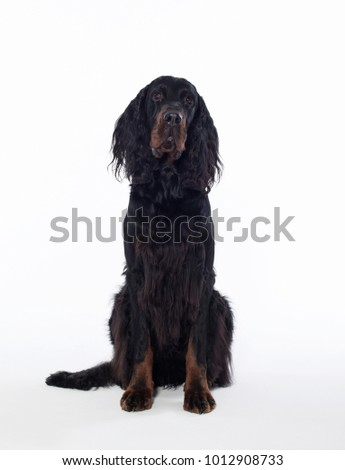 gordon setter dog portrait  #1012908733