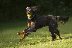 Gordon setter dog running with tennis ball in mouth.
