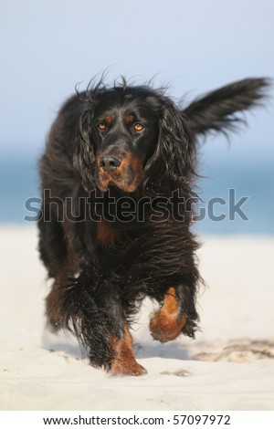 Gordon Setter Hunting Dog Female on the beach