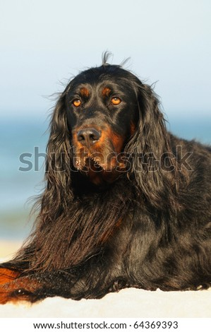 Gordon Setter Hunting Dog Female  relaxing on the beach in the holiday