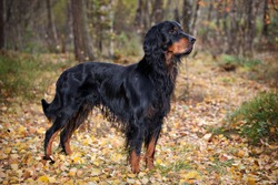 Gordon Setter hunting dog standing in the front in the autumn forest