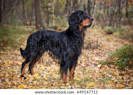 Gordon Setter hunting dog standing in the front in the autumn forest #649147711