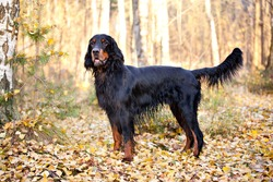 Gordon Setter hunting dog standing in the front in the autumn park