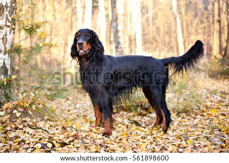Gordon Setter hunting dog standing in the front in the autumn park #561898600