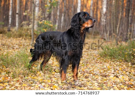 Gordon Setter hunting in the autumn forest #714768937