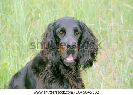 Gordon Setter portrait #1046045332
