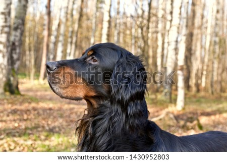 Gordon Setter portrait in the autumn birch forest #1430952803