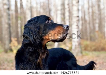 Gordon Setter portrait on nature in a birch grove #1426713821