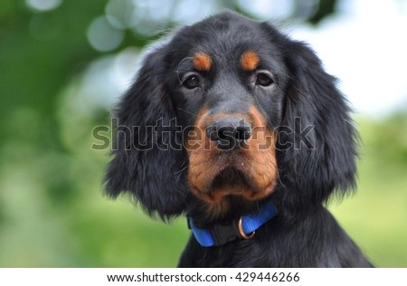 Gordon Setter puppy in the summer #429446266