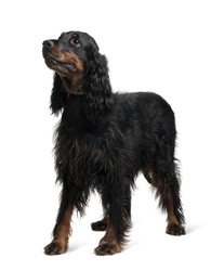 Gordon Setter, 7 years old, standing in front of white background