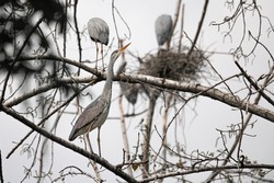 Gorgeous animal heron sits in a tree collects branches to make nest. Amazing posture of stork living in a wild. Neutral tones picture of crane between branches and leaves. Common birds in nature.