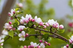 Gorgeous blooming apple tree isolation on background. Beautiful spring nature backgrounds.