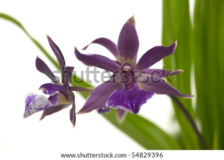 Gorgeous blue orchid flowers over white background (Bolopetalum Midnight Blue 'Cardinal's Roost')