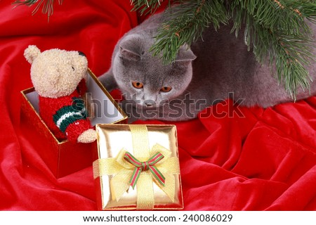Gorgeous british cat on Christmas/Charming gray cat with presents on holiday theme