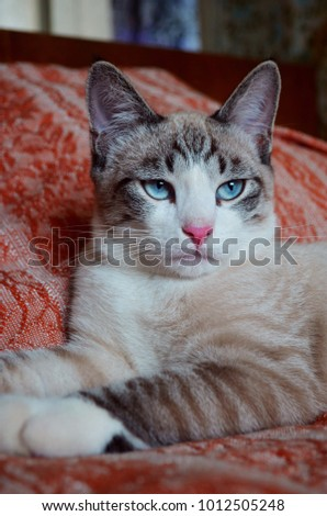 Gorgeous cat in lying in regal pose. Portrait of regal white and tan senior cat, laying on bed with red cover looking imoprtant. Tabby white cat looking gorgeously with egoistical face. Cat blue eyes