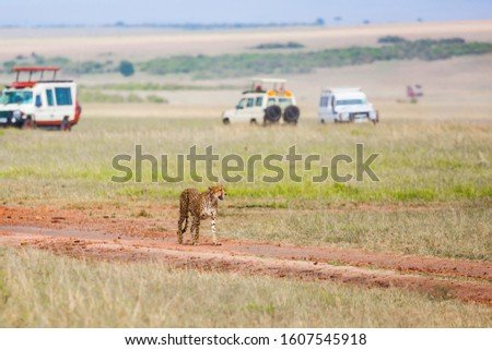 Gorgeous cheetah family. Predators walk freely on the car tracks  of the savannah. Kenya, Masai Mara Park. Jeep - safari in the African savannah. Concept of extreme tourism and photo tourism