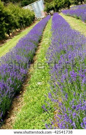Gorgeous field of lavender in bloom.