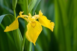 gorgeous flower yellow iris-Iris pseudacorus
