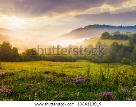 gorgeous foggy sunrise in Carpathian mountains. lovely summer landscape of Volovets district. purple flowers on grassy meadows and forested hill in fog. mountain Pikui in the distance. #1064113019
