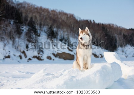 Gorgeous Husky Dog Is Sitting On The Snow And Looking Afar Portrait