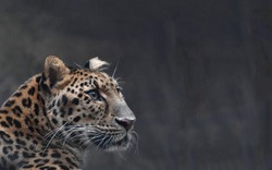 Gorgeous leopard with a straight confident look close up on a dark background