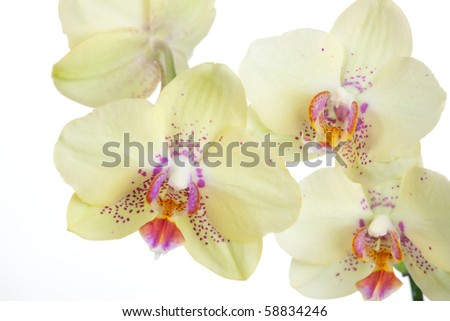 Gorgeous light yellow orchid flower over white background (Phalaenopsis genus)