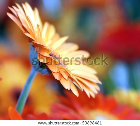 gorgeous looking orange flower with colorful background
