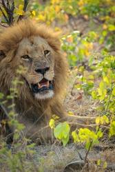 Gorgeous male lion (Panthera leo) with blod mane in mopane veld. Moremi Game Reserve. Okavango Delta. Botswana.