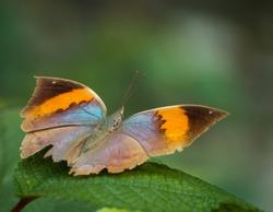 gorgeous orange oak leaf ( kallima inachus ) butterfly resting on green leaf.