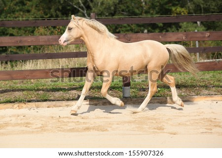Gorgeous palomino welsh mountain pony stallion running