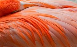 Gorgeous Pink Flamingo Peeking over its Feathers