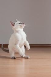 Gorgeous playful siamese kitten.