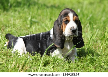 Gorgeous puppy of basset hound in green grass
