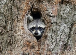 Gorgeous raccoon cute peeks out of a hollow in the bark of a large tree