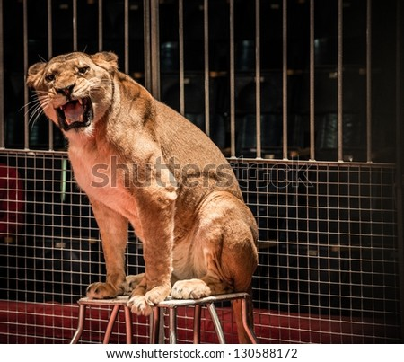 Stock Photo Gorgeous roaring lioness sitting in a circus arena cage