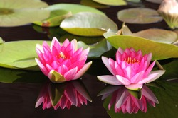 Gorgeous set of twin pink lilies amid lily pads. Beautiful, tranquil reflection of the flowers in the slate blue pond water.