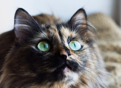 Gorgeous three colored cat. Portrait of cat with green eyes