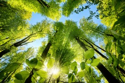 Gorgeous upwards view to the treetops in a beech forest with fresh green foliage, sun rays and clear blue sky
