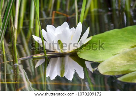 Gorgeous white Lily - white waterlily (Nymphaea alba) blooms in lake and reflection in water, female narcissism, mirroring