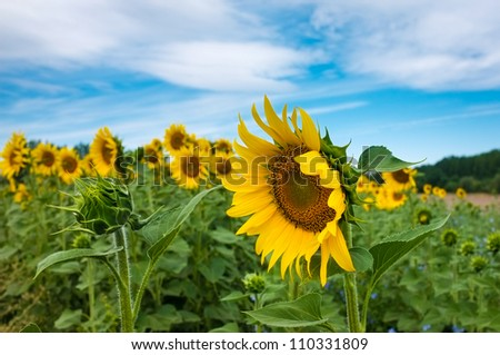 Gorgeous wide open sunflower next to a closed, smaller sunflower.