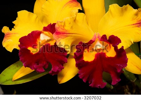 Gorgeous yellow and scarlet orchid flowers on black background (Cattleya hybrid)