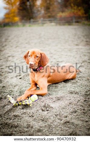 Gorgeous Young Hungarian Vizsla Playing with Toy at Dog Park Beach
