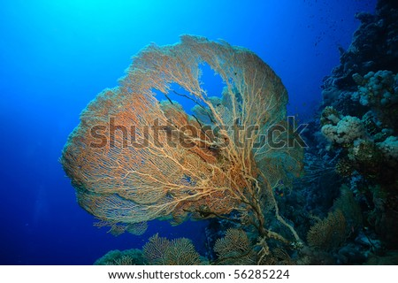 Gorgonian fan coral with a heart-shaped whole in the center