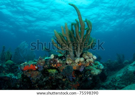 Gorgonian on a reef ledge, picture taken in south east Florida.
