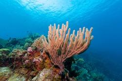 Gorgonian sea rod coral (Eunicea calyculata) Roatan, Honduras