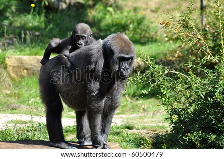 Gorilla baby heaving a ride on mothers back - stock photo