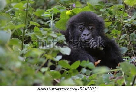 gorilla boy (4 years old) at volcanoes national park, rwanda - stock photo