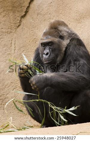 Gorilla Examining Food