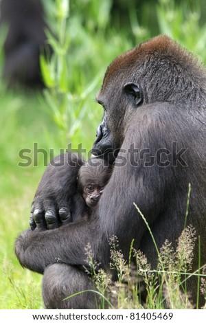 Gorilla female with newborn baby