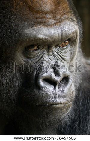 Gorilla (Gorilla gorilla).